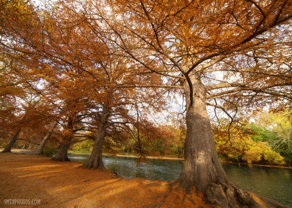 Cypress trees on the San Marcos River in San Marcos, TX