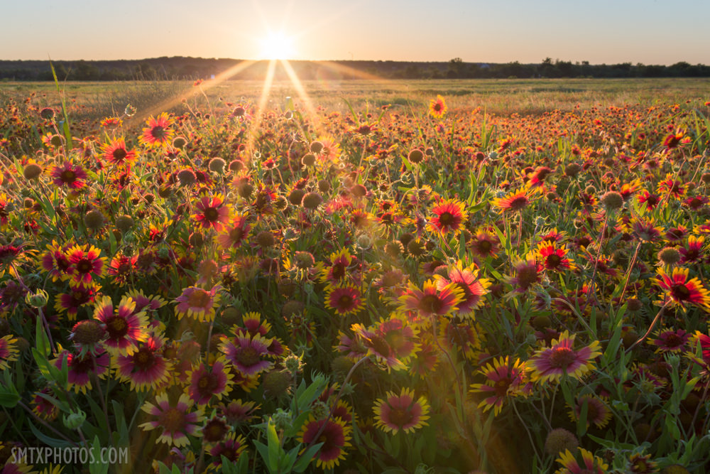 Sunset over a field of gaillardias in San Marcos, TX